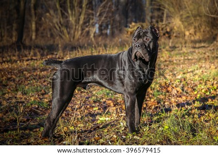 Beautiful black dog standing. portrait Cane Corso. outdoor. Autumn sunny day in the park - stock photo