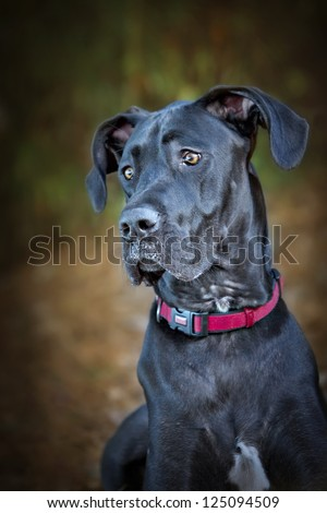 Beautiful black Great Dane Dog with curious expression - stock photo