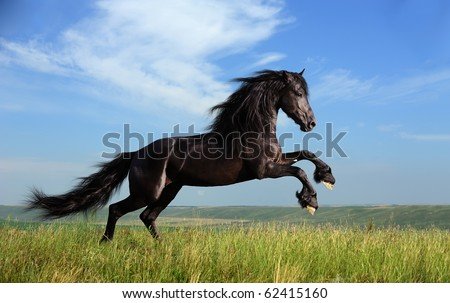 beautiful black horse playing on the field - stock photo