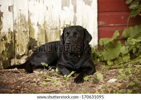 Beautiful black lab in front of a rustic barn door.