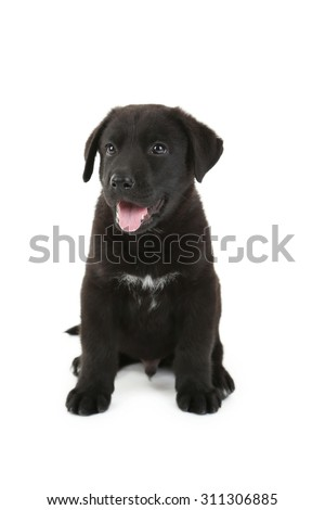 Beautiful black labrador puppy sitting, isolated on a white - stock photo