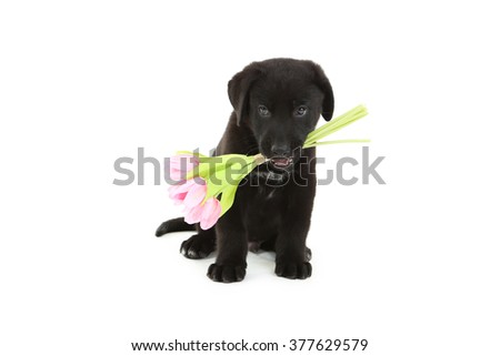 Beautiful black labrador puppy with flowers isolated on a white - stock photo