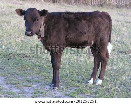 Beautiful black little pretty calf in green grass rural scene - stock photo