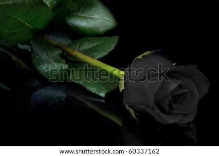 Beautiful black rose on black background - stock photo