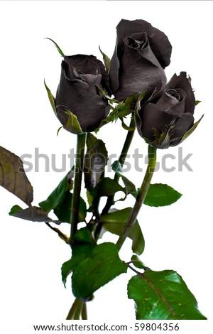 Beautiful black rose on white background - stock photo
