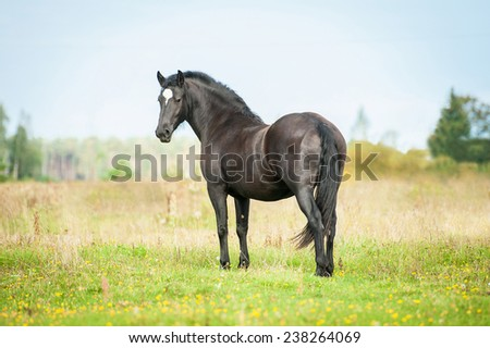 Beautiful black stallion looking back on the pasture in summer