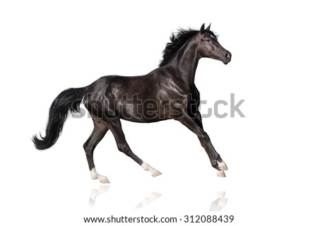 Beautiful black stallion run gallop on white