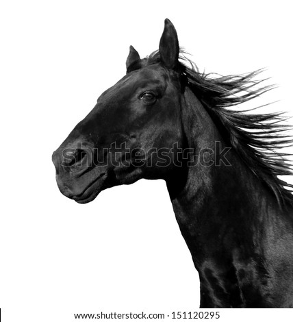 beautiful black stallion running in a corral: isolated on a white background