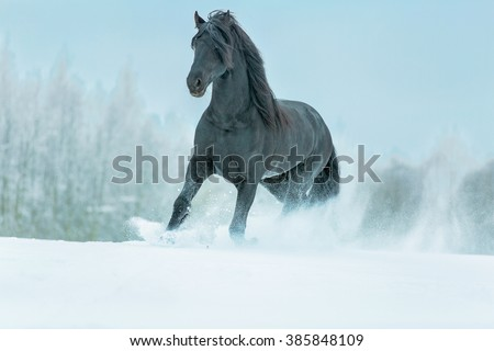Beautiful black stallion running in snow meadow.