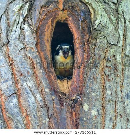 Beautiful Black-thighed falconet (Microhierax fringillarius) in the hole, bird of Thailand - stock photo