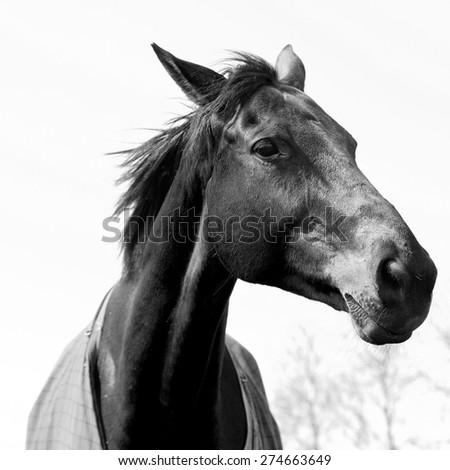 Beautiful black & white chestnut/light bay horse portrait showing head, neck and horse coat. The elegant horse is confidently making eye contact with one eye and his mane blowing in the wind.  - stock photo
