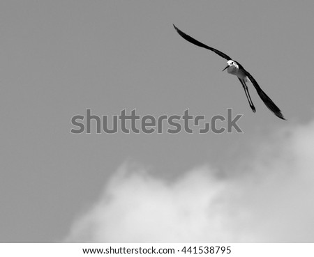Beautiful black-winged stilt flying in the sky. Black & White image. - stock photo