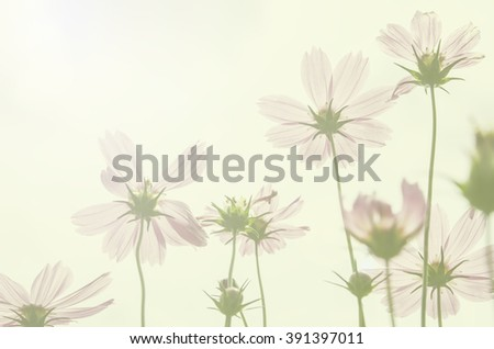 beautiful bloom cosmos flower with color filter - stock photo