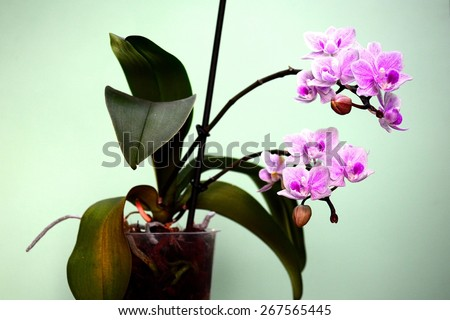 Beautiful bloom of red fresh orchid flower. Closeup. - stock photo