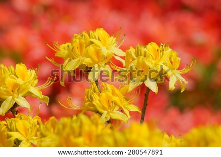 Beautiful blooming azaleas and rhododendrons in the garden - tellow azalea - stock photo
