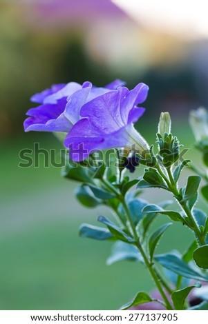 Beautiful blooming blue petunia flower. Close up of petunia in evening light. - stock photo