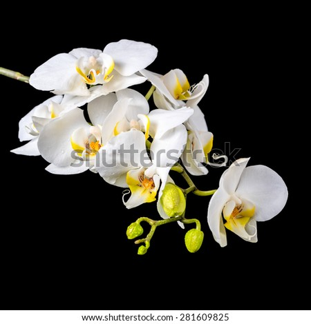 beautiful blooming branch white orchid with dew, phalaenopsis on a black background - stock photo