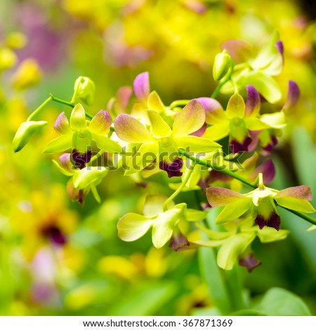 beautiful blooming branches of yellow and purple orchid, dendrobium on nature blur background, greeting card, close up - stock photo