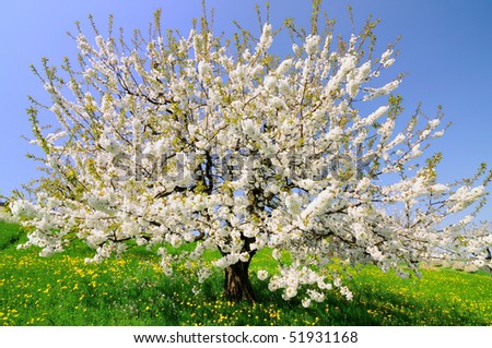 Beautiful blooming cherry tree on a sunny day in spring - stock photo
