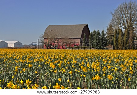 Beautiful blooming Daffodil field with red barn in background.