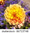 beautiful blooming dahlia in flower bed - stock photo