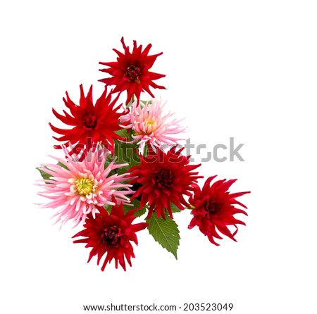 Beautiful blooming dahlias on white background - stock photo
