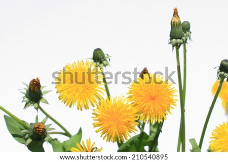 Beautiful blooming Dandelion flowers on white background - stock photo