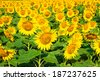 Beautiful blooming field of sunflower background with insect - stock photo