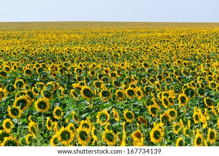 Beautiful blooming field of sunflowers under blue sky