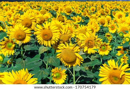 Beautiful blooming field of sunflowers under blue sky - stock photo