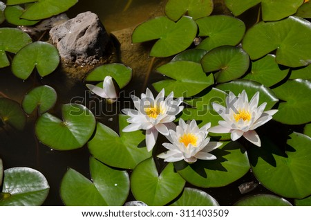Beautiful blooming flower - white water lily on a pond - stock photo