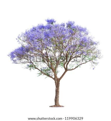 beautiful blooming Jacaranda tree isolated on white background - stock photo