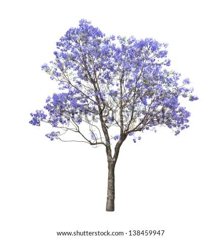 Beautiful Blooming Jacaranda Tree Isolated On Stock Photo Safe To
