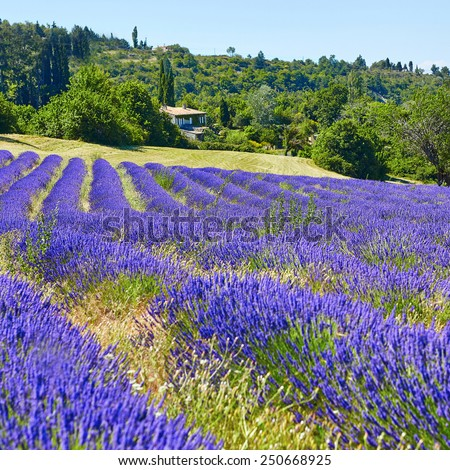 Beautiful blooming lavender field on the Valensole Plateau in Provence, France