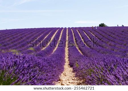 Beautiful blooming lavender fields near Valensole in Provence, France. Rows of purple flowers. Famous, popular destination and place for tourists for making vacations in summer.