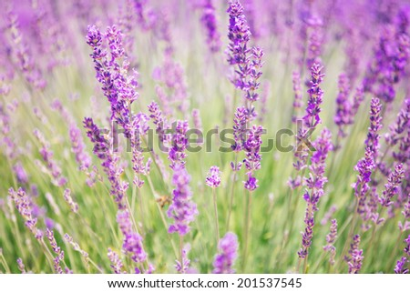 Beautiful blooming lavender flower close up, natural, pastel colors. - stock photo