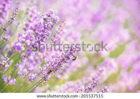 Beautiful blooming lavender flower with bees, close up with bokeh and blur, natural, pastel colors. Summertime, In back light. - stock photo