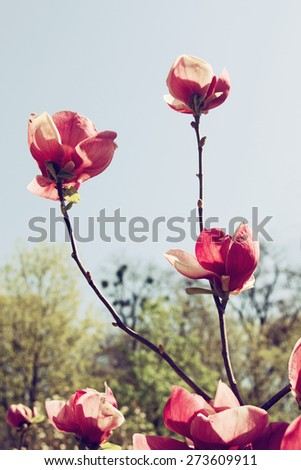 Beautiful blooming magnolia tree over sky background, vintage toning - stock photo