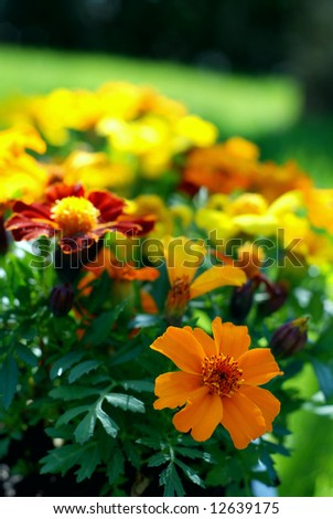 Beautiful blooming marigold plants sitting on a green lawn with summer sunshine