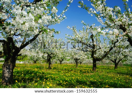Beautiful blooming of cherry trees over blue sky
