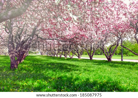 Beautiful blooming of decorative white apple and fruit young trees over bright blue sky in colorful vivid spring park full of green grass by dawn early light with first sun rays, fairy heart of nature - stock photo