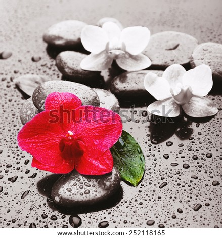 Beautiful blooming orchid with spa stones on gray background - stock photo