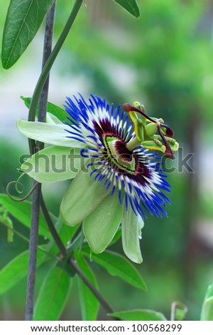 beautiful blooming passion flower. Passiflora - stock photo