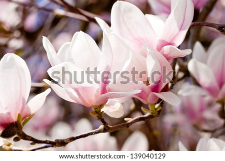 beautiful blooming pink magnolia tree blue sky in spring outdoor - stock photo