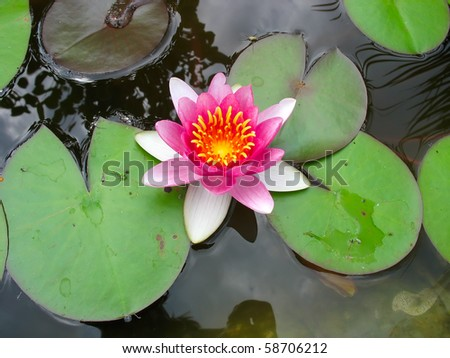 Beautiful blooming pink water lily Lotus Flower in the pond - stock photo
