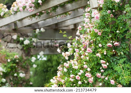 Beautiful blooming roses in  garden at summer - stock photo