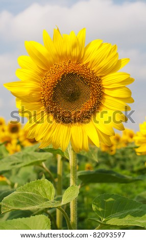 Beautiful blooming sunflower on a background field of sunflowers and the sky - stock photo