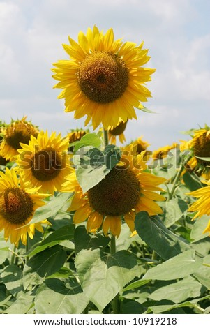beautiful blooming sunflowers against sky
