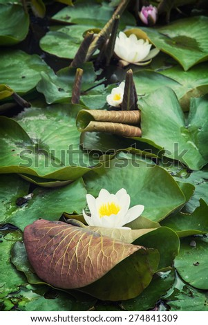 Beautiful blooming water lilies in the summer garden. Natural background. - stock photo