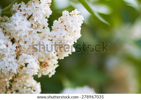 beautiful blooming white lilac in the parks and gardens. Mid spring - stock photo